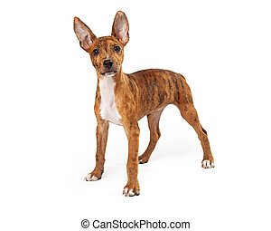Standing young Australian Cattle Dog mix
