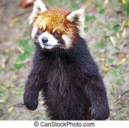 stands, panda, sien, legs., biche, rouges, panda., closeup.