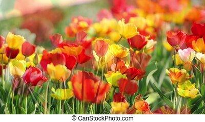 stands, tulipe, dehors