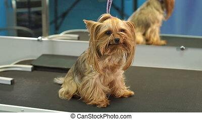 stands, vétérinaire, yorkshire, clinic., petit, table, terrier