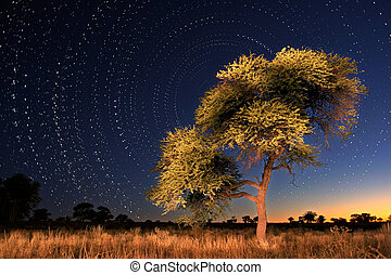 Star circles with Camel thorn tree in foreground, Kgalagadi National park, South Africa
