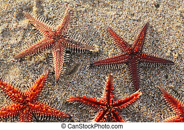 Star fish formation - Live Star fish on the beach.