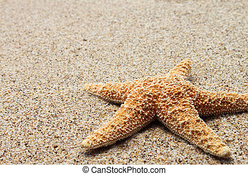 star fish on san - Pisaster ochraceous starfish on sand