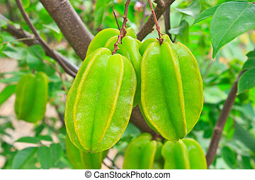 Star fruit - Green star fruit on the tree .
