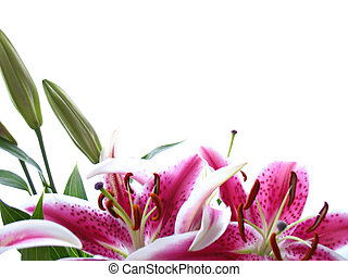 White background with stargazer lilies at bottom of frame