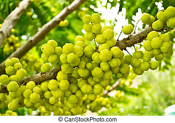 Star gooseberry on a branch