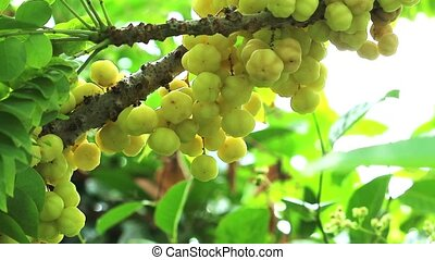 star gooseberry vegetable fruit useful can use both leaf and root treatment