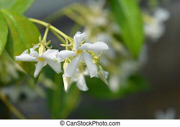 Star jasmine flowers - Latin name - Trachelospermum jasminoides