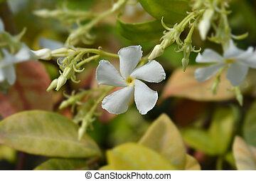 Star jasmine - Latin name - Trachelospermum jasminoides