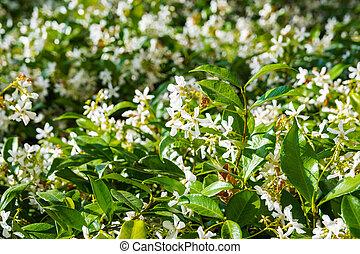 Star Jasmine (Trachelospermum jasminoides) blooming in a public garden, California