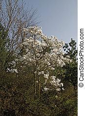 Star magnolia, Magnolia stellata