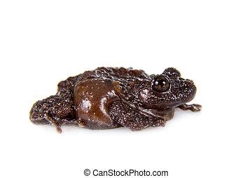 Star mossy frog, Theloderma stellatum, on white - Star mossy...