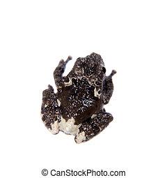 Star mossy frogling, Theloderma stellatum, on white - Star...