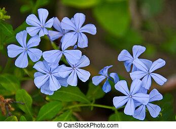 Vervain Blue Princess Verbena flower