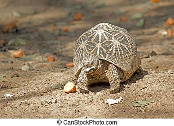 Star tortoise, Geochelone elegans