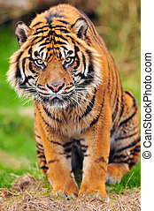 Stare of a Tiger - Tiger intensely looking towards the ...