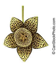 Starfish Cactus Flower
