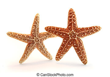 """two """"Pisaster ochraceous"""" starfish on white background"""