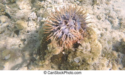 starfish crown of thorns - crown of thorns starfish on the...