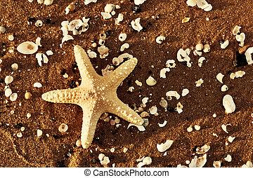 starfish, e, escudos mar, ligado, a, exoticas, praia, em, morno, pôr do sol