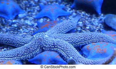 Starfish or sea stars and Synanceia verrucosa