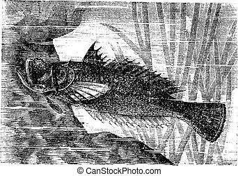 Stargazer or Uranoscopus sp., vintage engraving