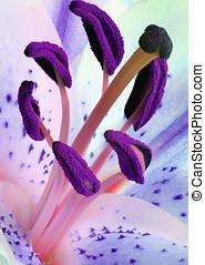 Stargazer Stamens - Blue stargazer lily with pink stamens...