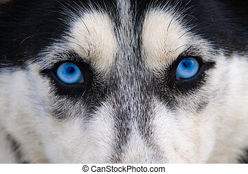 Staring and evil wolf eyes blue eyes