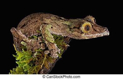 Staring gecko