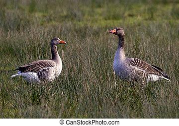 staring geese