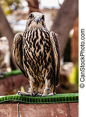 Staring hawk - close shot of a beautiful bird of prey