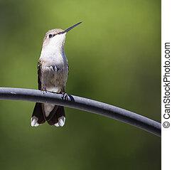 Staring hummingbird