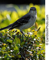 Staring Northern Mockingbird