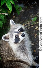 Staring raccoon - A staring raccoon spotted in Montreal,...