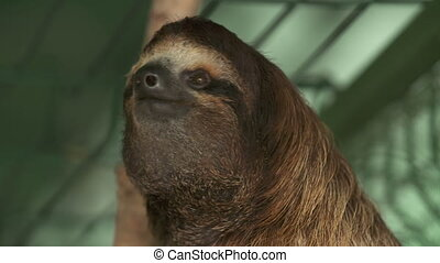 Staring Sloth at Sanctuary, Costa Rica - Extreme close-up...