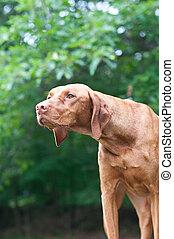 Staring Vizsla Dog