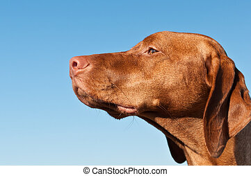 Staring Vizsla Dog (Hungarian Pointer)
