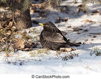 starling, 上, 雪, 在, 冬天