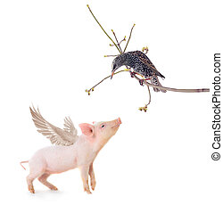 starling and pig