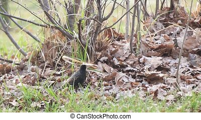 starling collects materials for the nest and flies away ,...