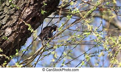 starling cystitis feathers sitting near its nest, wild birds