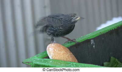 Starling eating. - A starling pecking at bread in a compost...
