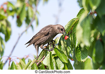 Starling eats ripe cherries