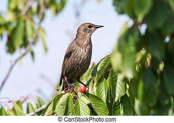 Starling in a cherry tree