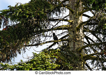 Starling in a Fir Tree