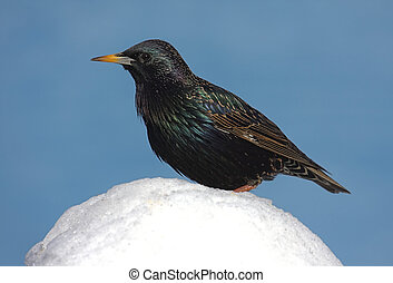 Starling In Snow - European Starling (Sturnus vulgaris) in...
