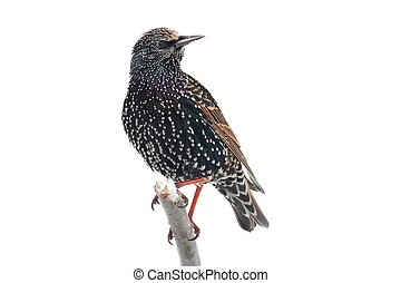Starling In Snow - Isolated