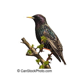 Starling isolated on white - Starling on branch isolated on...
