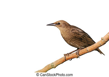 Starling isolated on white