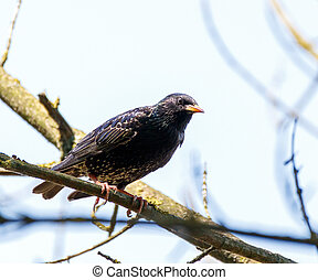 Starling on a branch